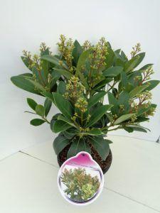 Skimmia jap. 'Adriana'in een P17 pot rond juli / augustus.